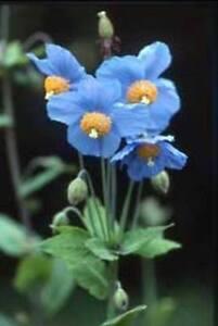 Himalayan Blue Poppy - Meconopsis betonicifolia - 1-1.5m, 3-5ft Tall