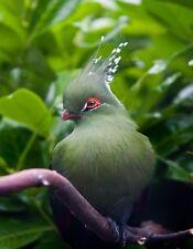 METAL REFRIGERATOR MAGNET Schalow's Turaco Green Bird Birds Travel England