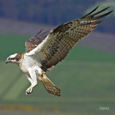Osprey sound Greeting Card from Really Wild Cards RSPB collection
