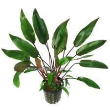 Cryptocoryne Becketii Topf, robuste Wasserpflanze, Aquariumpflanze, Barschfest