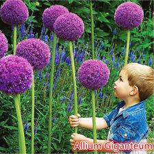 10x Giant Allium Globemaster Allium Giganteum Onion Flower Seeds Garden
