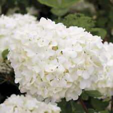 Sterile Viburnum - Chinese Snowball Shrub-Live Established Rooted - 1 gallon pot