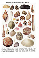 British shells of land and water.Beautiful scarce print circa 1930s