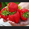 500 PCS Seeds Giant Strawberry Organic Fruit Bonsai Plants Home Garden 2021 New