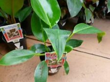 Philodendron House Plants