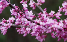 Beautiful Eastern Redbud Cercis canadensis 10 Seeds Shipped From Canada