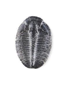Genuine Utah Trilobite Fossil Lapel Pin - QHG1