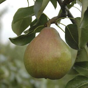'Doyenne du Comice' Pear Patio Fruit Tree in a 5L Pot90-110cm Tall