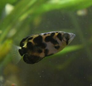 Live Clouded Zebra Archerfish *RARE Aquarium Fish* (PLS READ DESCR)