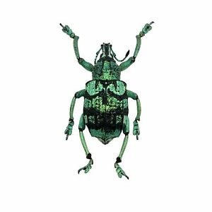 Teal Weevil Beetle (Eupholus chevrolati) Insect Collector Specimen