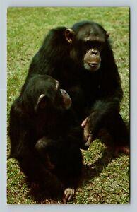 Chimpanzees, Rain Forest Of Africa, Chrome Postcard