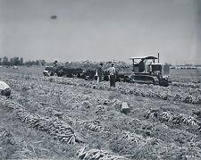 BRAWLAY c. 1950 - Tracteur Caterpillar à Chenille Récolte  Californie - USA 99