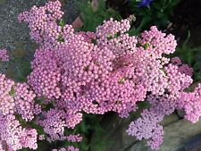 10 Live Bare Root Plants Achillea Millefolium Pink Perennial Best Time To Plant