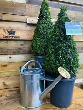2X LARGE BUXUS BOX PYRAMID CONE PLANTS TOPIARY TREES 70cm 7.5L