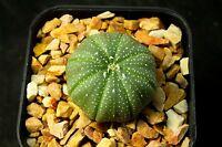 Astrophytum asterias , cactus , Succulent , cacti