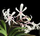 Darwinara Rainbow Stars__THE SIX MILLION DOLLAR ORCHID__Neofinetia falcata hybrd