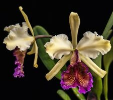 Cattleya dowiana 'Costa Rica' species orchid plant