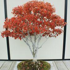 ZELKOVA serrata Japanese Elm Seeds (ES 61 Bonsai)
