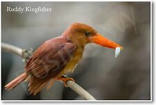 Ruddy Kingfisher - NEW Animal Wildlife POSTER
