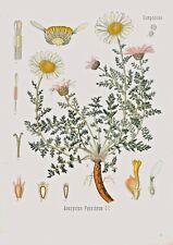 Botanical Herb Medicinal Spanish Chamomile - 100 Vintage Art Print/Poster