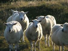 100 g  Amazon Pro Wurmkur / Entwurmung ohne Chemie, für Schafe **GROSSPACKUNG**