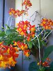 3 X CRUCIFIX ORCHID - 'SUNBURST' FIRE STAR Epidendrum Radicans GIANT Orchid