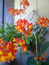 3 X CRUCIFIX ORCHID - 'SUNBURST' FIRE STAR Epidendrum Pacific GIANT Orchid