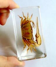 Real Insect Bug huge fiddler crab  Paperweight YYI-006