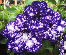 Blue Sky Petunia Seeds Petunia Blue Sky Annual Blue Petals White Flower Seeds