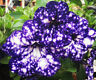 Blue Sky Petunia Seeds Petunia Blue Sky Annual Blue Petals White Flower Seeds