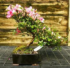 Bonsai Tree Satsuki Azalea Azumakagami Saa-927