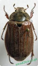 Melolontha melolontha Linnaeus, 1758 female Poland