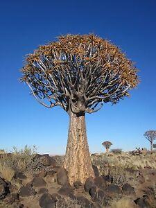 Aloe Dichotoma - 10 fresh seeds - Stunning Aloe Vera QUIVER TREE
