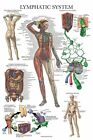 Laminated Lymphatic System Anatomical Poster - Lymphatic Anatomy Chart - 18' ...