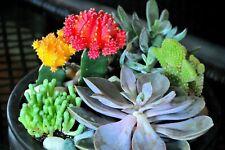 20Pcs- Rare Mixed  Echeveria Cactus Succulent Seeds - Beautiful /(S085)