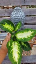 Dieffenbachia Camille❤Tropical Houseplant❤️ Shipped bare root❤️ Beautiful