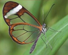 ONE REAL BUTTERFLY SOUTH AMERICAN WHITE CLEAR GLASS WING UNMOUNTED WINGS CLOSED