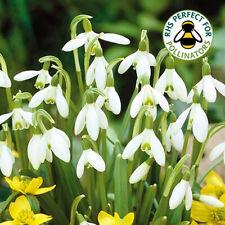 Galanthus Nivalis Common Snowdrop White Flowering Spring Garden Bulbs Plants