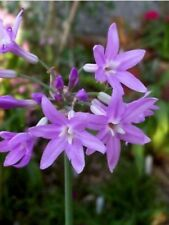 TULBAGHIA VIOLACEA  Ail Violet Society Garlic Ornemental et Comestible 12 Seeds