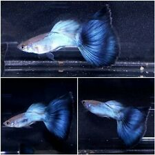 1 Pair - Live Guppy Fish High Quality - Japan Blue Tail- USA Seller