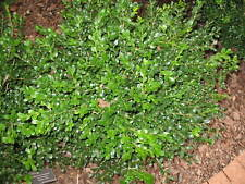 Winter Gem Boxwood (Lot of 10 plants in quart containers)