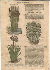 Stampa antica ERBARIO MATTIOLI MATTHIOLI FIORI GIUNCO LICHENE 1580 Antique print