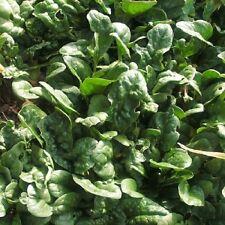 100 Seeds *Spinacia Oleracea *Bloomsdale Spinach -45/50 Days. Flavorful Heirloom