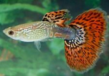 x10 MALES / x10 FEMALES - RED COBRA DELTA GUPPY PAIR - FISH LIVE FREE SHIPPING