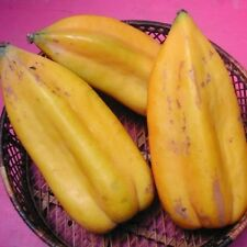 "Rare Babaco Papaya! - Juicy ""Champagne Fruit""! - Cuttings"
