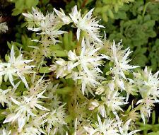 SEDUM CLIFF STONECROP Sedum Glaucophyllum - 200 Bulk Seeds
