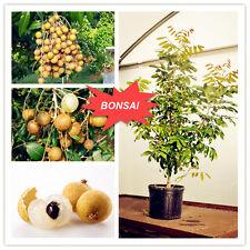 5pcs Dimocarpus Longan Seeds Organic Fruit Dragon Eye Bonsai Tropical Fruit Tree