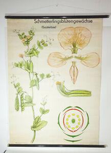 Rouleau Vintage Schmetterlingsblütengewächse Saaterbse Lehrkarte Tableau (10