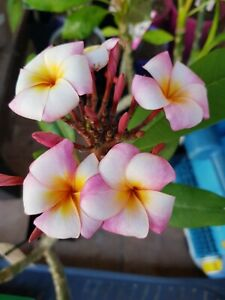 Frangipani Plumeria - Pflanze - Thumbalina - 50 cm - 3 Ast