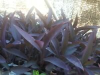12 pcs live Purple Heart plant Cuttings 5 to 8 inch